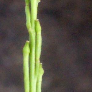 Photographie n°266617 du taxon Hirschfeldia incana (L.) Lagr.-Foss. [1847]