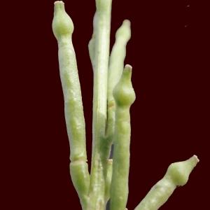 Photographie n°266619 du taxon Hirschfeldia incana (L.) Lagr.-Foss. [1847]
