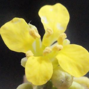 Erucastrum incanum (L.) W.D.J.Koch (Faux Rapistre blanchâtre)