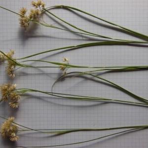 Photographie n°266663 du taxon Luzula nivea (Nathh.) DC. [1805]