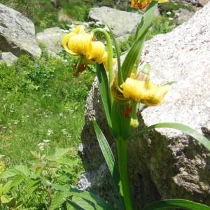 - Lilium pyrenaicum Gouan [1773]