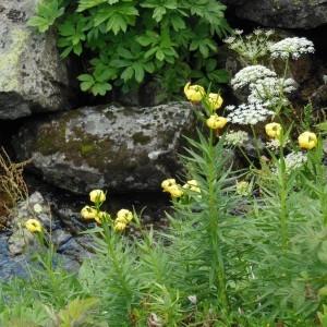 - Lilium pyrenaicum Gouan