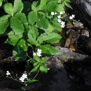 Photographie n°266710 du taxon Ranunculus aconitifolius L. [1753]