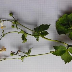 Photographie n°266712 du taxon Ranunculus aconitifolius L. [1753]