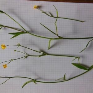 Photographie n°266713 du taxon Ranunculus flammula L. [1753]