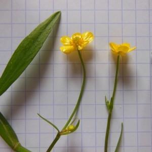 Photographie n°266714 du taxon Ranunculus flammula L. [1753]