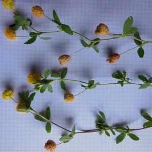Photographie n°266745 du taxon Trifolium campestre Schreb. [1804]