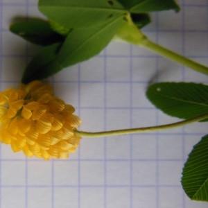 Photographie n°266746 du taxon Trifolium campestre Schreb. [1804]