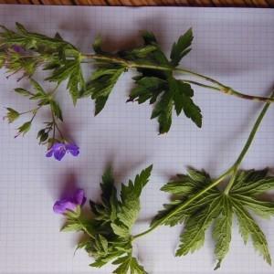 Photographie n°266767 du taxon Geranium sylvaticum L. [1753]
