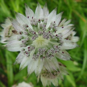 Astrantia major L. (Grande Astrance)