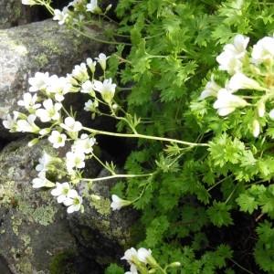 Photographie n°266932 du taxon Saxifraga geranioides L. [1755]