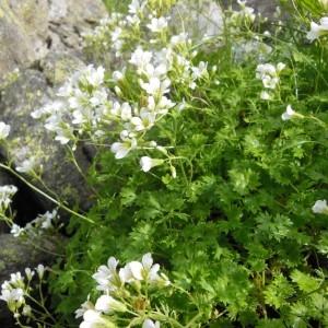 Photographie n°266933 du taxon Saxifraga geranioides L. [1755]