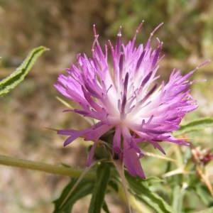 Photographie n°266987 du taxon Centaurea calcitrapa L. [1753]