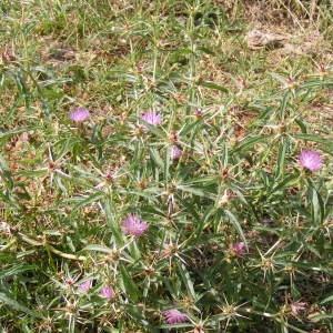 Photographie n°266988 du taxon Centaurea calcitrapa L. [1753]