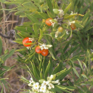 Photographie n°266993 du taxon Daphne gnidium L. [1753]