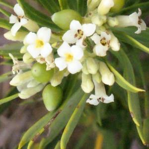 Photographie n°266995 du taxon Daphne gnidium L. [1753]