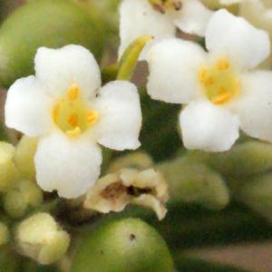 Photographie n°266996 du taxon Daphne gnidium L. [1753]