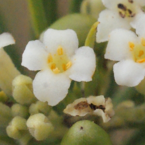 Photographie n°266997 du taxon Daphne gnidium L. [1753]