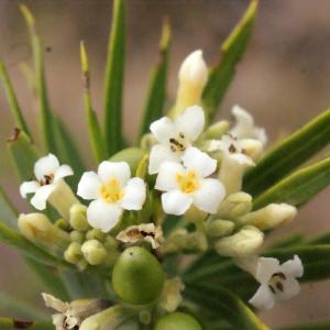 Photographie n°266998 du taxon Daphne gnidium L. [1753]