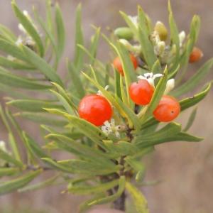 Photographie n°267001 du taxon Daphne gnidium L. [1753]