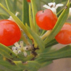 Photographie n°267002 du taxon Daphne gnidium L. [1753]