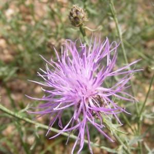Centaurea paniculata L. (Centaurée à panicule)