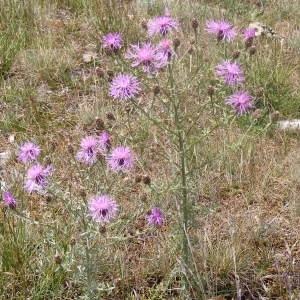 Photographie n°267019 du taxon Centaurea paniculata L. [1753]
