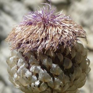 Rhaponticum heleniifolium Godr. & Gren. (Rhapontique à feuilles d'aunée)