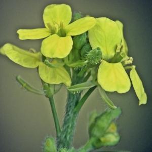 Photographie n°267143 du taxon Erucastrum incanum (L.) W.D.J.Koch [1837]