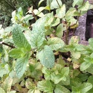 Photographie n°267166 du taxon Mentha longifolia (L.) Huds. [1762]