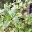 - Mentha longifolia (L.) Huds. [1762]