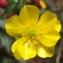 Jean-Claude Echardour - Ranunculus repens L. [1753]