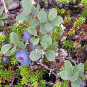 - Ericaceae