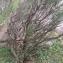 sophrud - Rosmarinus officinalis L.