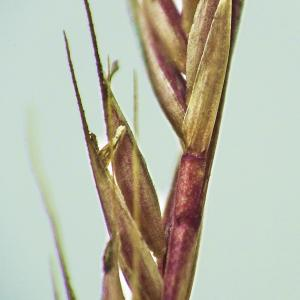 Photographie n°267406 du taxon Vulpia unilateralis