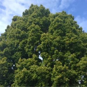 Photographie n°267634 du taxon Quercus robur L. [1753]