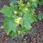 Pierre Bonnet - Liriodendron tulipifera L.