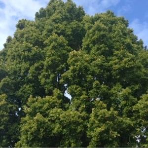 Photographie n°267654 du taxon Quercus robur L. [1753]