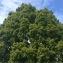 Pierre Bonnet - Quercus robur L.