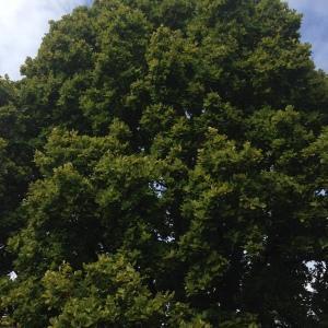 Photographie n°267655 du taxon Quercus robur L. [1753]