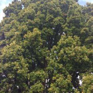 Photographie n°267656 du taxon Quercus robur L. [1753]