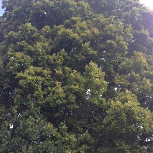 Photographie n°267657 du taxon Quercus robur L. [1753]