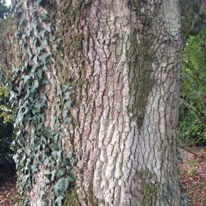 Photographie n°267658 du taxon Quercus robur L. [1753]