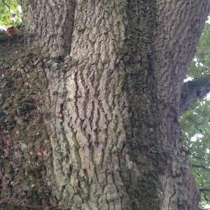 Photographie n°267659 du taxon Quercus robur L. [1753]
