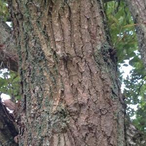 Photographie n°267661 du taxon Quercus robur L. [1753]