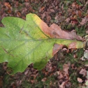 Photographie n°267665 du taxon Quercus robur L. [1753]