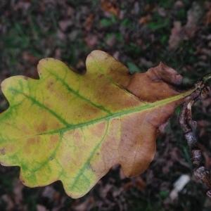 Photographie n°267669 du taxon Quercus robur L. [1753]
