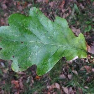 Photographie n°267672 du taxon Quercus robur L. [1753]