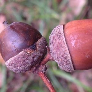 Photographie n°267677 du taxon Quercus robur L. [1753]