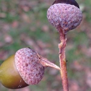 Photographie n°267680 du taxon Quercus robur L. [1753]
